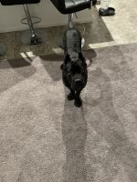 Cane Corso Puppies for sale in Las Vegas, NV, USA. price: NA