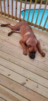 Cane Corso Puppies for sale in Augusta, GA, USA. price: NA