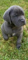 Cane Corso Puppies for sale in Glenn Dale, MD, USA. price: NA