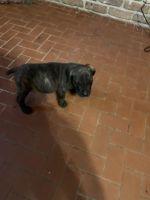Cane Corso Puppies for sale in Mobile, AL, USA. price: NA