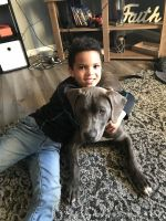 Cane Corso Puppies for sale in New Carlisle, IN 46552, USA. price: NA