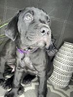 Cane Corso Puppies for sale in Wake Forest, NC 27587, USA. price: NA