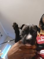 Cane Corso Puppies for sale in 6011 Bacarra Ln, Raleigh, NC 27606, USA. price: NA