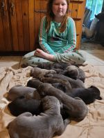 Cane Corso Puppies for sale in Clay Township, MI, USA. price: NA