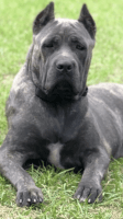 Cane Corso Puppies for sale in Lee, FL 32059, USA. price: NA