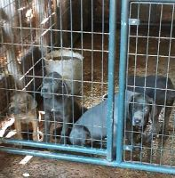 Cane Corso Puppies for sale in Eastern Shore Dr, Salisbury, MD 21804, USA. price: NA