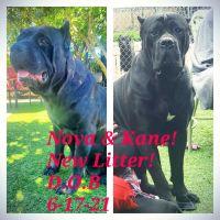Cane Corso Puppies for sale in Martinez, CA 94553, USA. price: NA