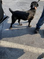 Cane Corso Puppies for sale in Jonesboro, GA, USA. price: NA