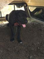 Cane Corso Puppies for sale in Pueblo, CO, USA. price: NA