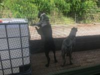 Cane Corso Puppies for sale in Little Rock, AR, USA. price: NA
