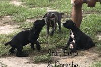 Cane Corso Puppies for sale in Daytona Beach, FL, USA. price: NA
