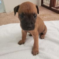 Cane Corso Puppies for sale in Lake Grove, NY, USA. price: NA