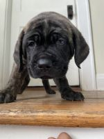 Cane Corso Puppies for sale in Columbus, OH 43219, USA. price: NA