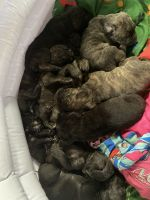 Cane Corso Puppies for sale in Stow, OH, USA. price: NA