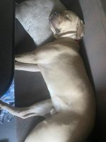 Cane Corso Puppies for sale in Linden, NJ, USA. price: NA