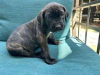 Cane Corso Puppies for sale in Simi Valley, CA 93065, USA. price: NA