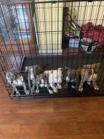 Cane Corso Puppies for sale in Pittsburg, CA, USA. price: NA