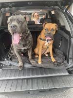 Cane Corso Puppies for sale in Acworth, GA 30101, USA. price: NA