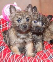 Canis Panther Puppies for sale in Clarksville, TN, USA. price: NA