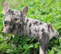 Canis Panther Puppies Photos