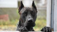 canis panther dog