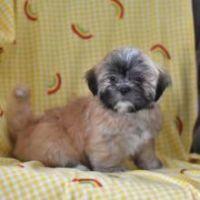 Cao de Castro Laboreiro Puppies for sale in Los Angeles, CA, USA. price: NA