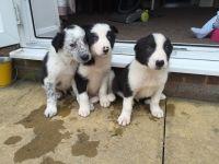 Cao Fila de Sao Miguel Puppies for sale in Spokane, WA, USA. price: NA