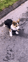 Cardigan Welsh Corgi Puppies for sale in Orlando, FL, USA. price: NA