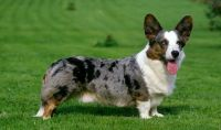 cardigan welsh corgi dog
