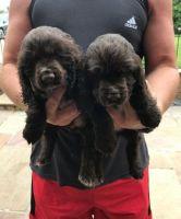 Carolina Dog Puppies Photos