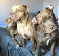 Catahoula Bulldog Puppies for sale in Georgetown, TX, USA. price: NA