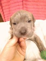 Catahoula Bulldog Puppies for sale in 154 Corinth Dr, Augusta, GA 30906, USA. price: NA