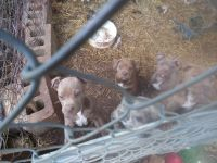 Catahoula Bulldog Puppies Photos