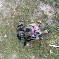 Catahoula Cur Puppies for sale in Johannesburg, MI 49751, USA. price: NA