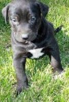 Catahoula Cur Puppies for sale in TX-121, Blue Ridge, TX 75424, USA. price: NA
