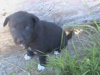 Catahoula Cur Puppies for sale in Edison, NJ 08837, USA. price: NA