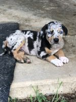 Catahoula Cur Puppies for sale in Liberty, MS 39645, USA. price: NA