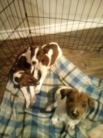 Catahoula Cur Puppies for sale in Austin, TX, USA. price: NA