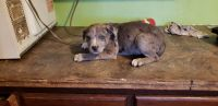 Catahoula Cur Puppies for sale in Galena, MO 65656, USA. price: NA
