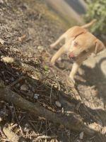 Catahoula Cur Puppies Photos
