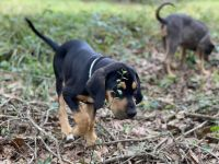 Catahoula Cur Puppies for sale in Atmore, AL 36502, USA. price: NA