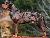 catahoula cur dog
