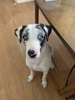 Catahoula Leopard Puppies for sale in 46011 W Sheridan Rd, Maricopa, AZ 85139, USA. price: NA