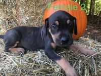 Catahoula Leopard Puppies for sale in Lyman, SC, USA. price: NA