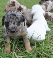 Catahoula Leopard Puppies for sale in Orlando, FL, USA. price: NA