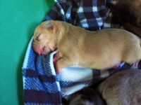 Catahoula Leopard Puppies for sale in Augusta, GA, USA. price: NA