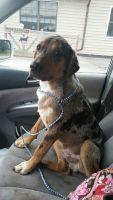 Catahoula Leopard Puppies for sale in Sweetwater, TN 37874, USA. price: NA