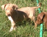 Catahoula Leopard Puppies for sale in Branson, MO 65616, USA. price: NA