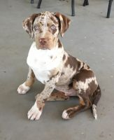 Catahoula Leopard Puppies for sale in San Diego, CA, USA. price: NA