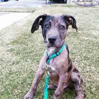 Catahoula Leopard Puppies for sale in Fort Wayne, IN 46809, USA. price: NA